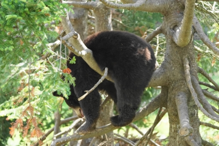 animal-black-bear-caught-in-tree-4b2c14dbd24d8f9bbc64df36acc1d91730e93057