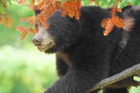 animal-black-bear-in-tree-a031b4221ac2c1c0d194ea9b4540a228cdfff688