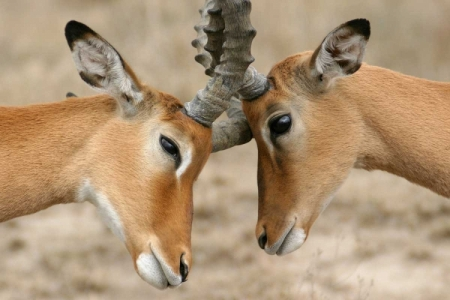 impala-nudge---selenium-toned_by_Mike_Gaudaur-2