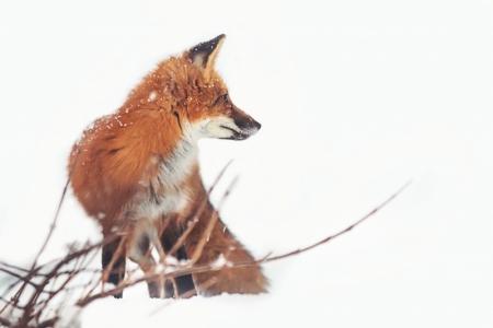img_1462-fox-side-final-matte-1cfe311f30552bb8786d8d231020f38aafcd1bbd