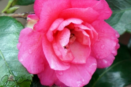 rose-water-spots-6c1a9a2d4fcd39dcd87ecf744caee5966b9f2506