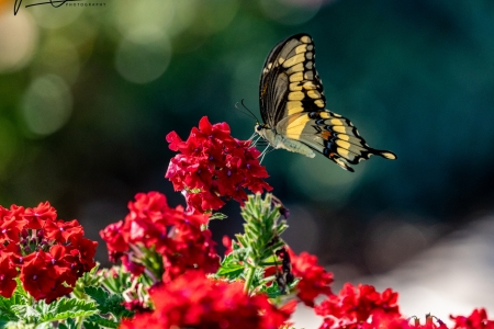 swallowtail-in-the-wind-1-of-1-faf74852244dc25ee40e0eb8a3d69111174ce6c0