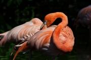 flamingos-2cdcd97c60f46300919aa053f8c7b9f61934c973